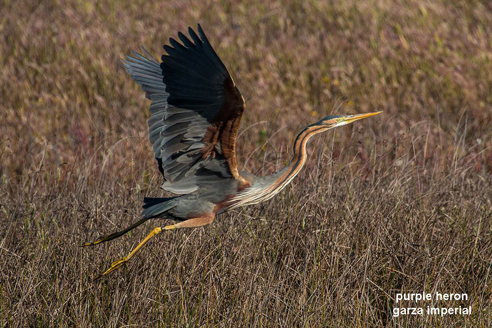 purple-heron-flying