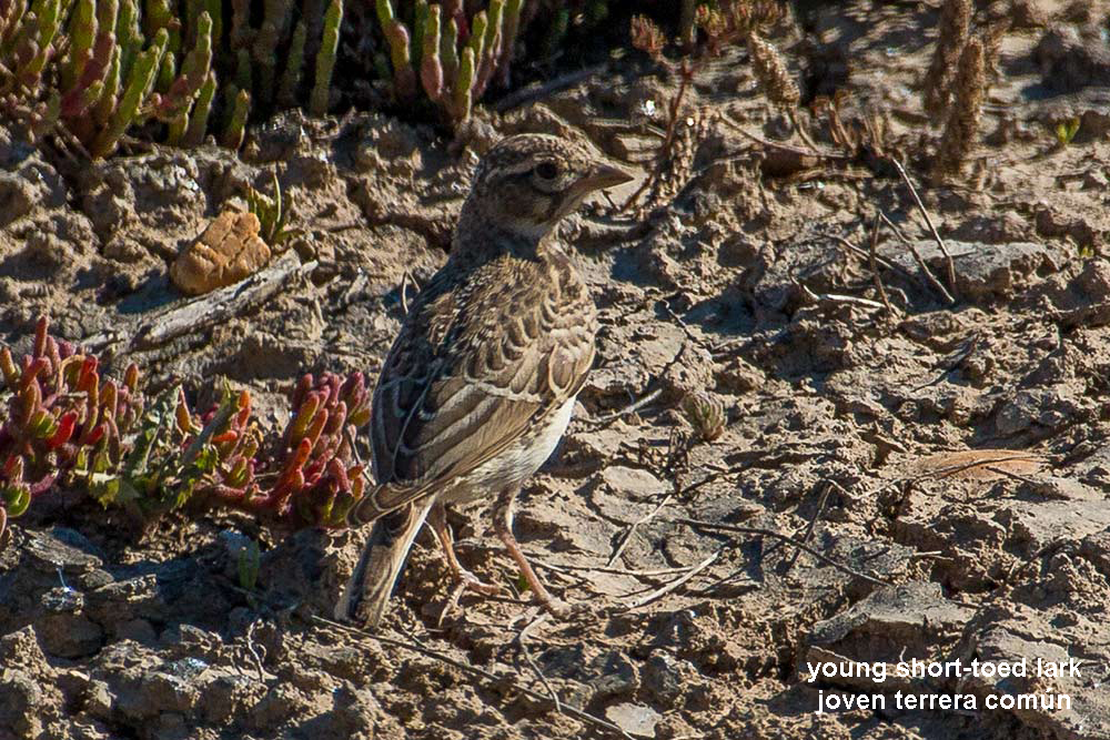 young short-toed lark