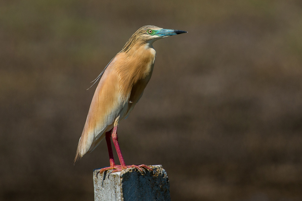 Squacco heron perched on a fence post