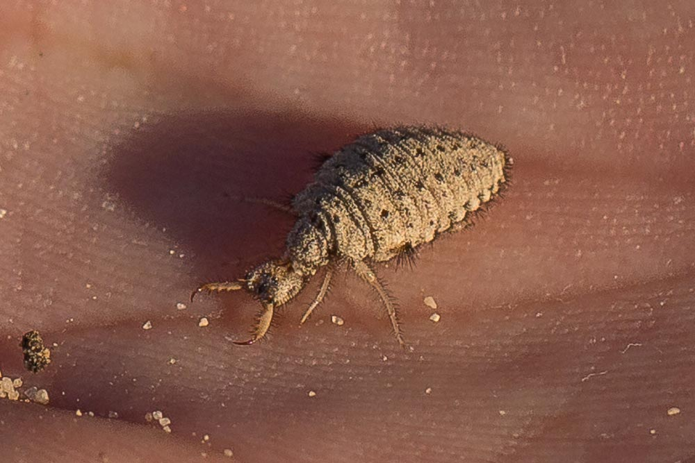 Antlion larvae on a hand