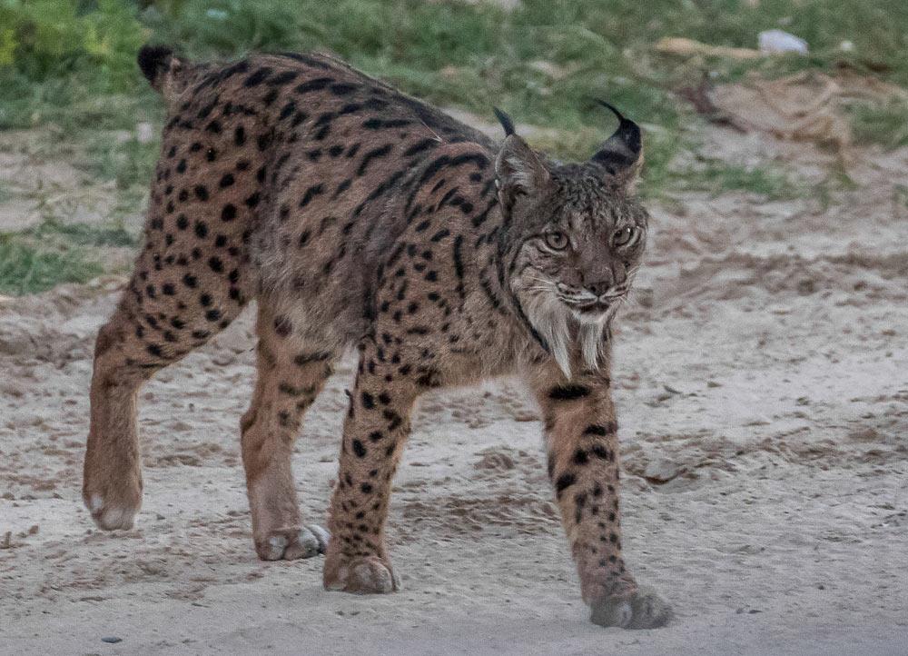iberian lynx walking