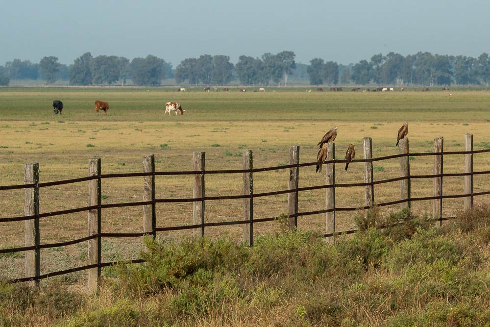 4 black kites perched on a cattle fence