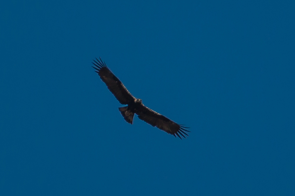 Águila imperial ibérica en vuelo