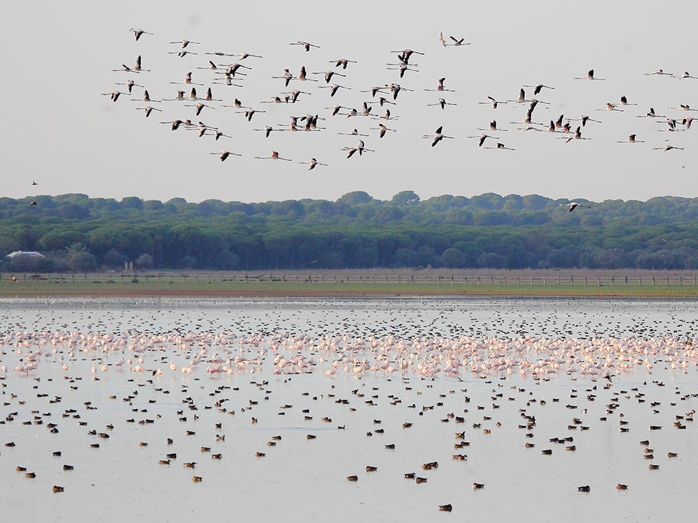 Flocks of flamingos at Dehesa de Abajo