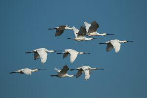 Grupo de espátulas en vuelo
