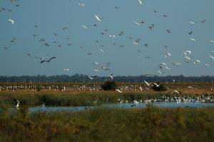 Bandos de aves sobrevolando el Caño Guadiamar