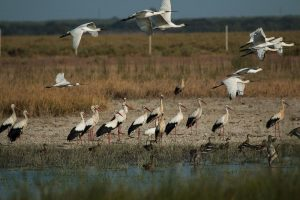 White storks and spoonbills