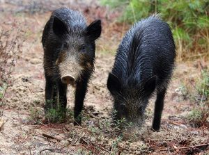 Two young wild boar