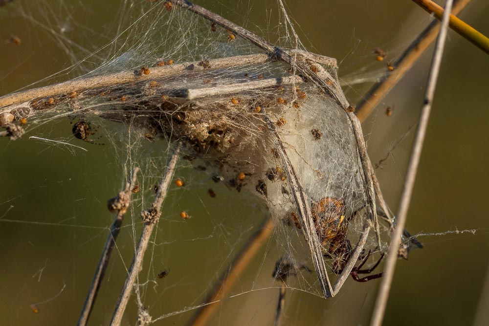 Spider in its nest with hatchlings