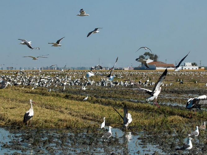Harvested rice field full of storks and gulls