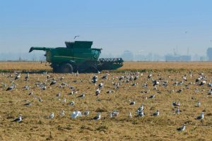Rice harvester surrounded by birds