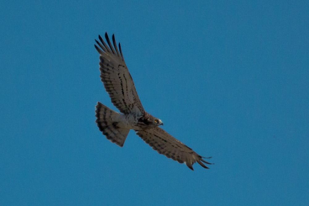 Culebrera europea en vuelo vista desde abajo
