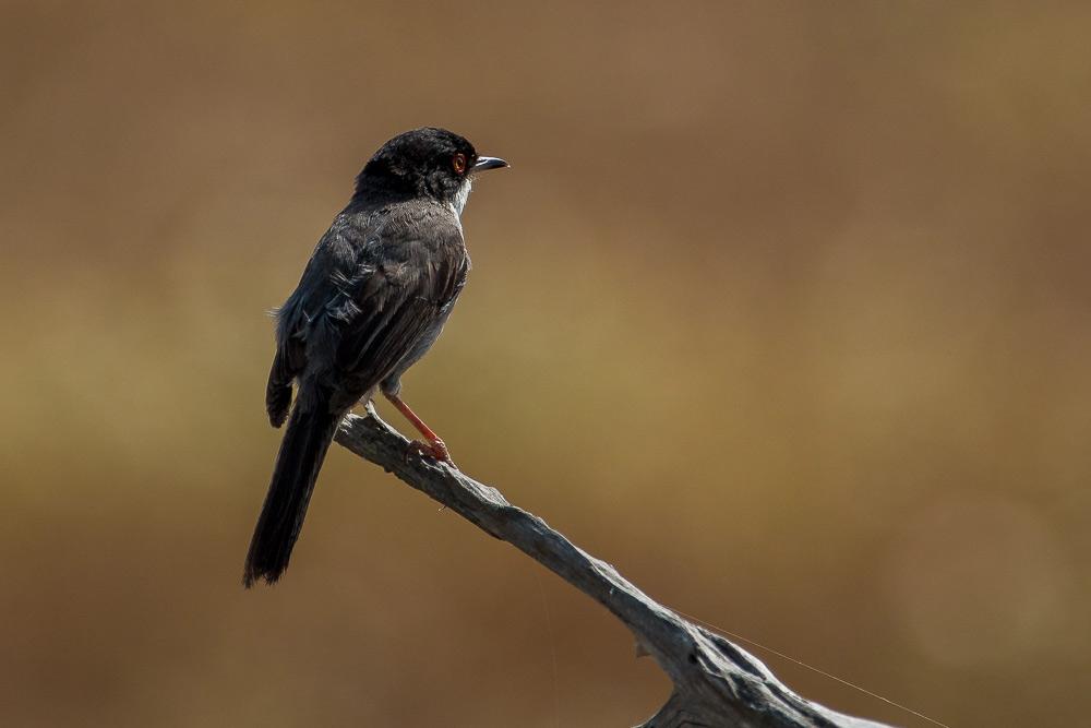 Sardinian warbler male