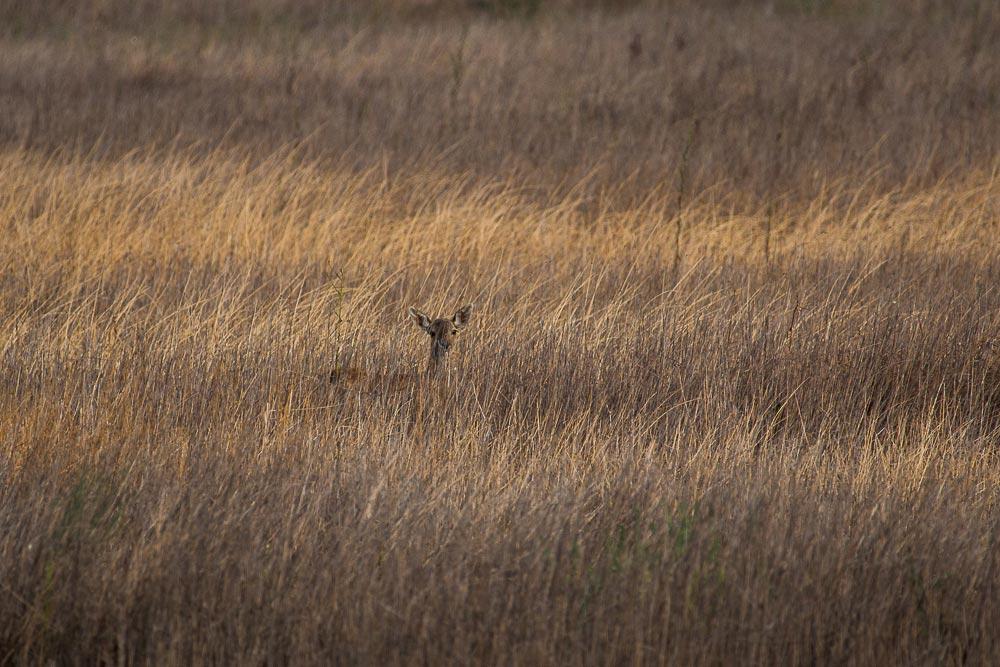 Pequeño gamo escondido entre la hierba seca