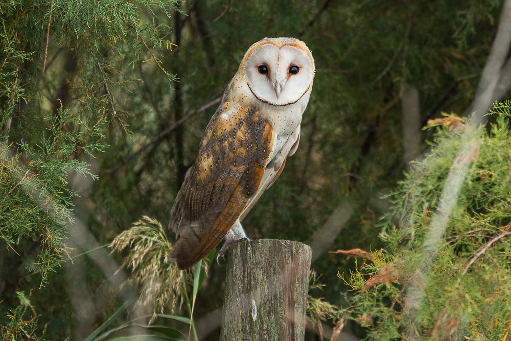Barn owl perched on a wooden fence post