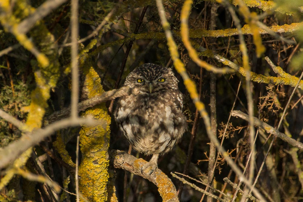 Little owl hidden in a tree with yellow branches