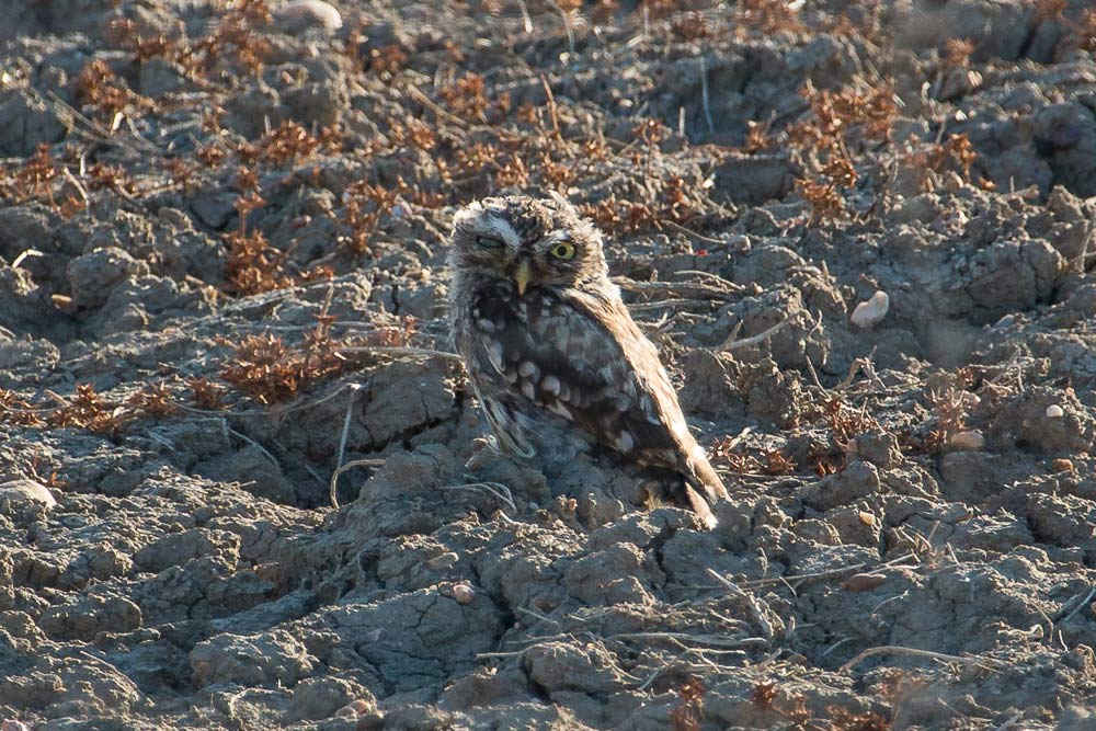 Blind in one eye little owl on the ground
