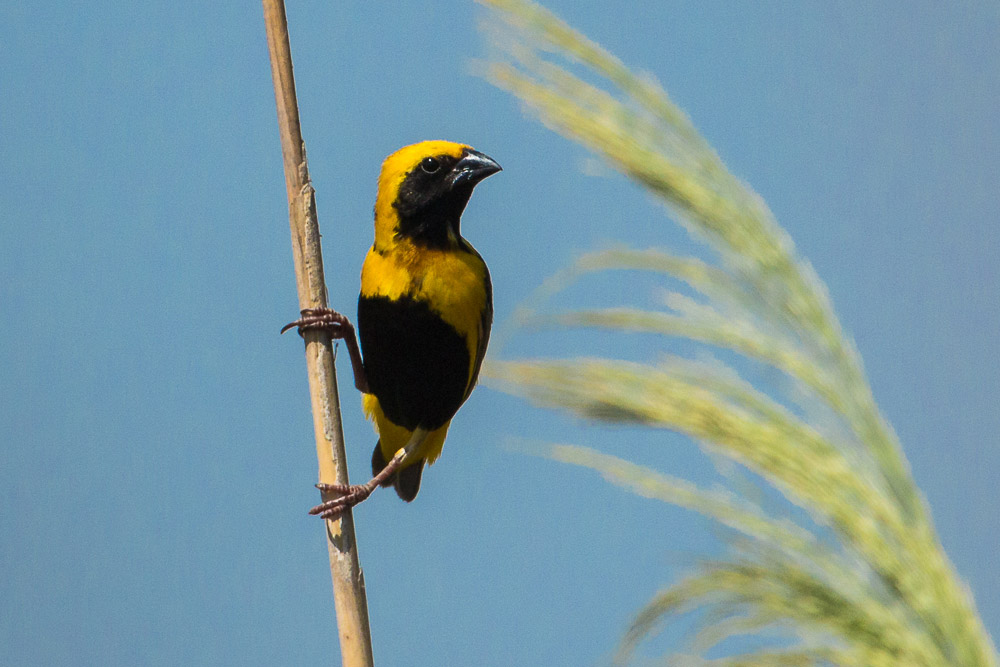 Male yellow crowned bishop perched on a reed