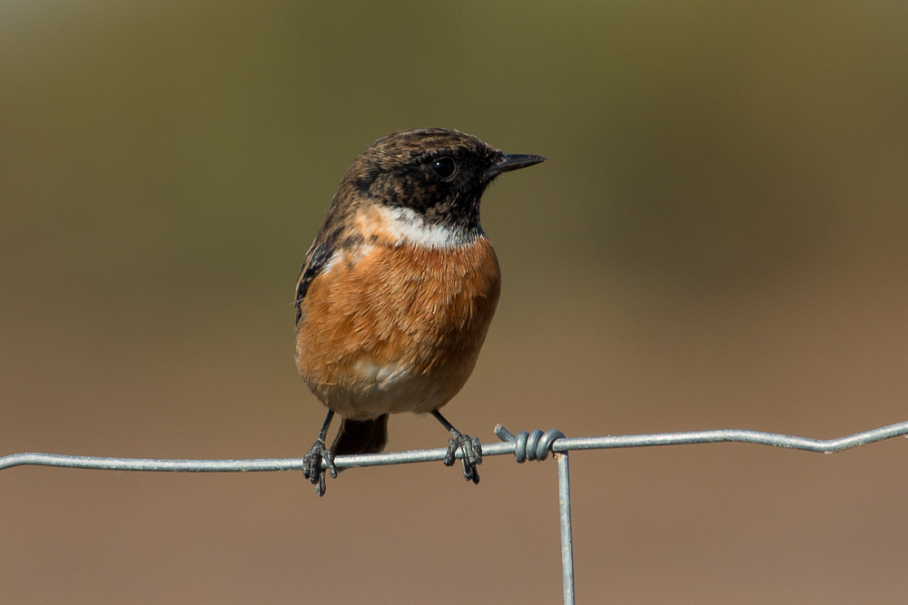 Male stonechat perched on a fence wire