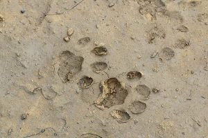 Linx prints on wet ground