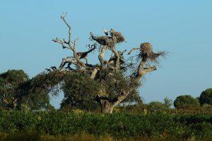Alcornoque con nidos de cigueña