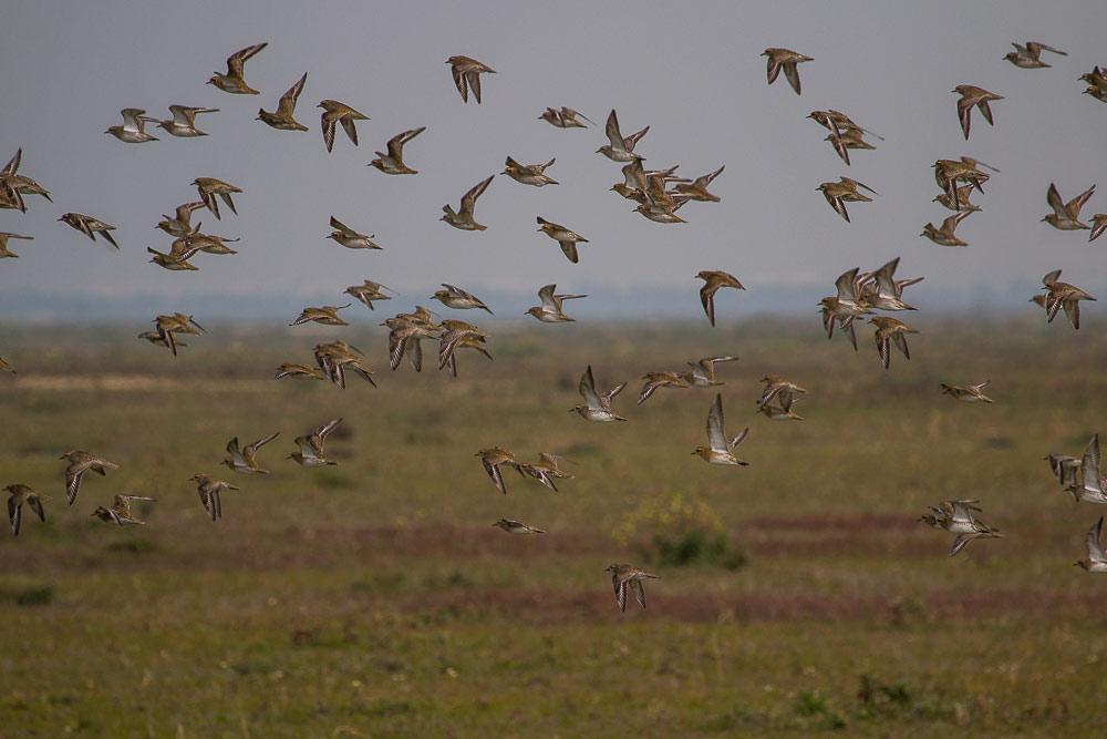 Flock of golden plovers in flight