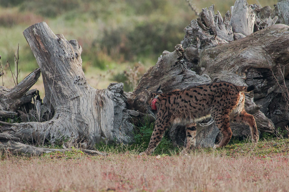 Iberian lynx walking away
