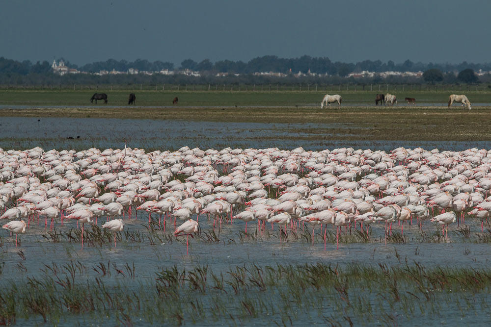 Flock of flamingos and horses