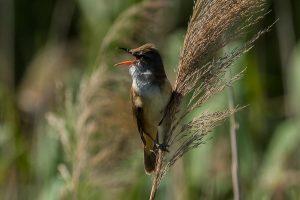 Great-reed warbler singing