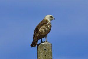 Joven de águila culebrera posada