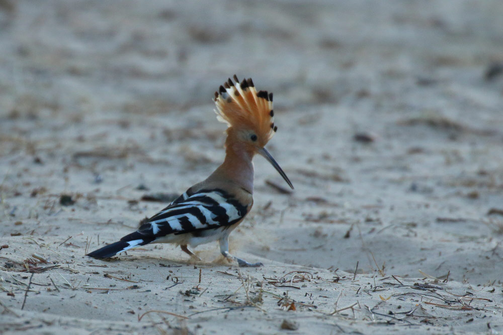 Hoopoe on sandy soil with the crest open