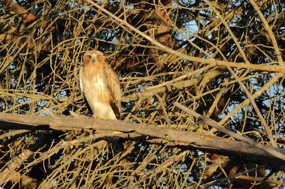 Booted eagle enjoying early morning sun