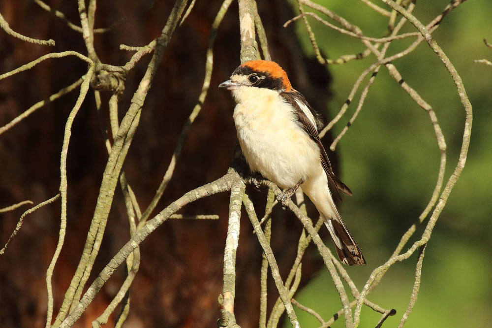 Woodchat shrike sat on a branch