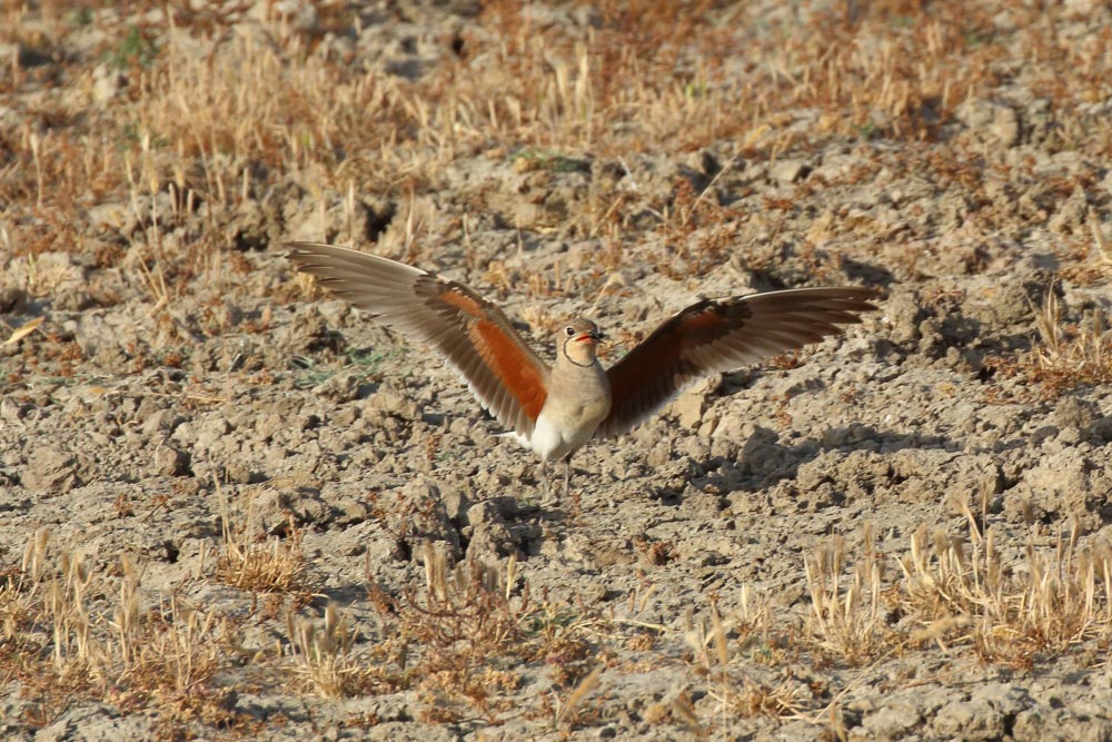 Collared pratincole on the ground