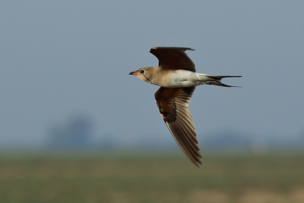 Collared pratincoles in flight