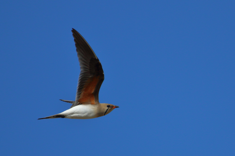 Collared pratincole in flight
