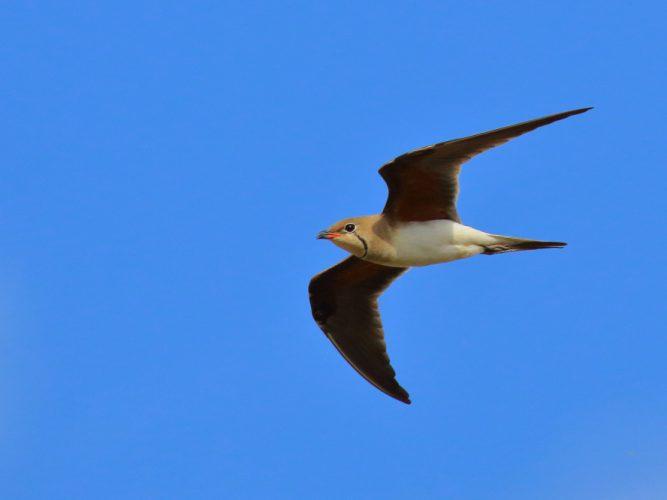 Canastera común en vuelo