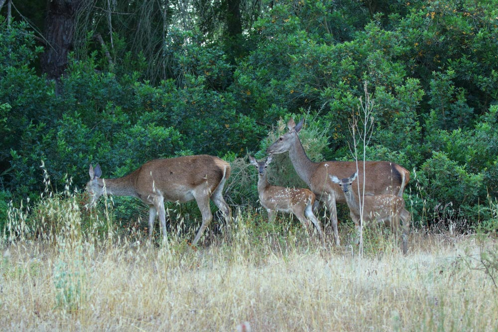 Female red deers with their fawns in the forest
