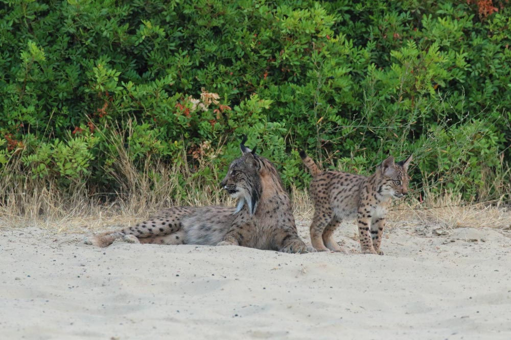 Iberian lynx with cub on the sand