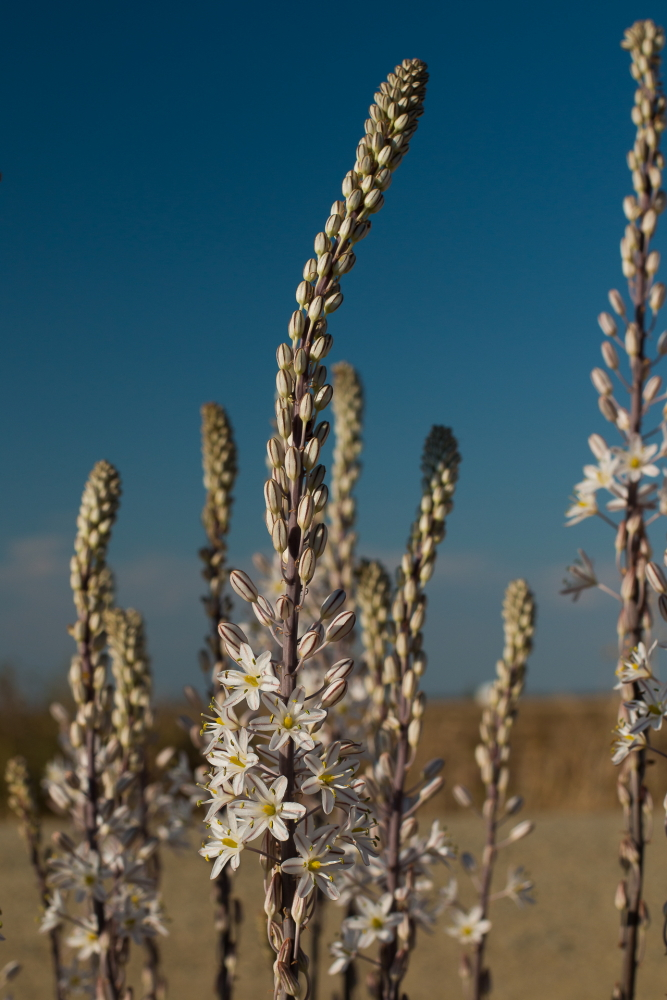 Spikes of flowers of drimia maritima