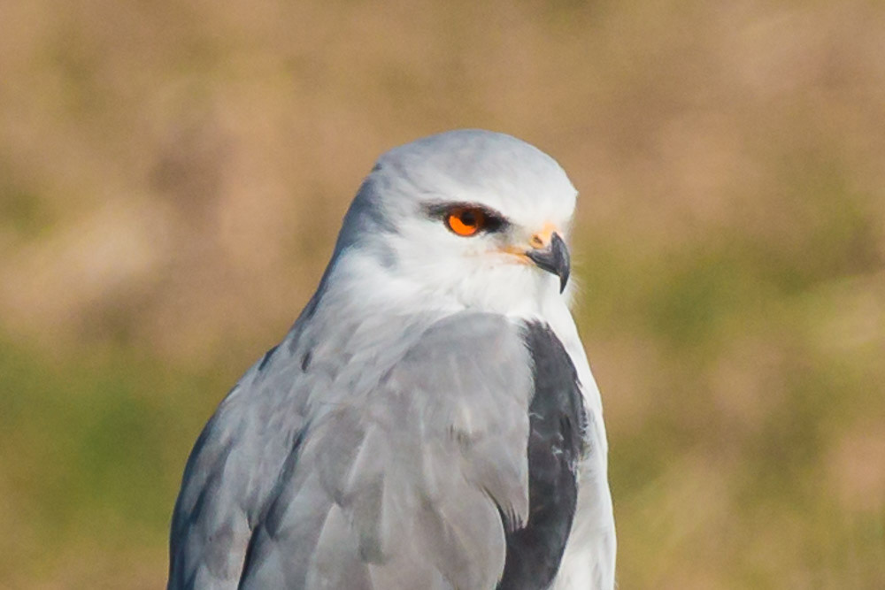 Black-winged kite perches on a post