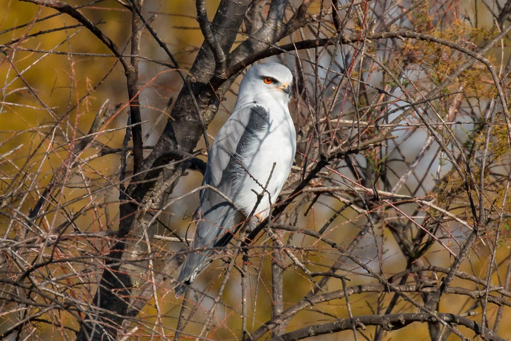 Black-winged kite in a tree