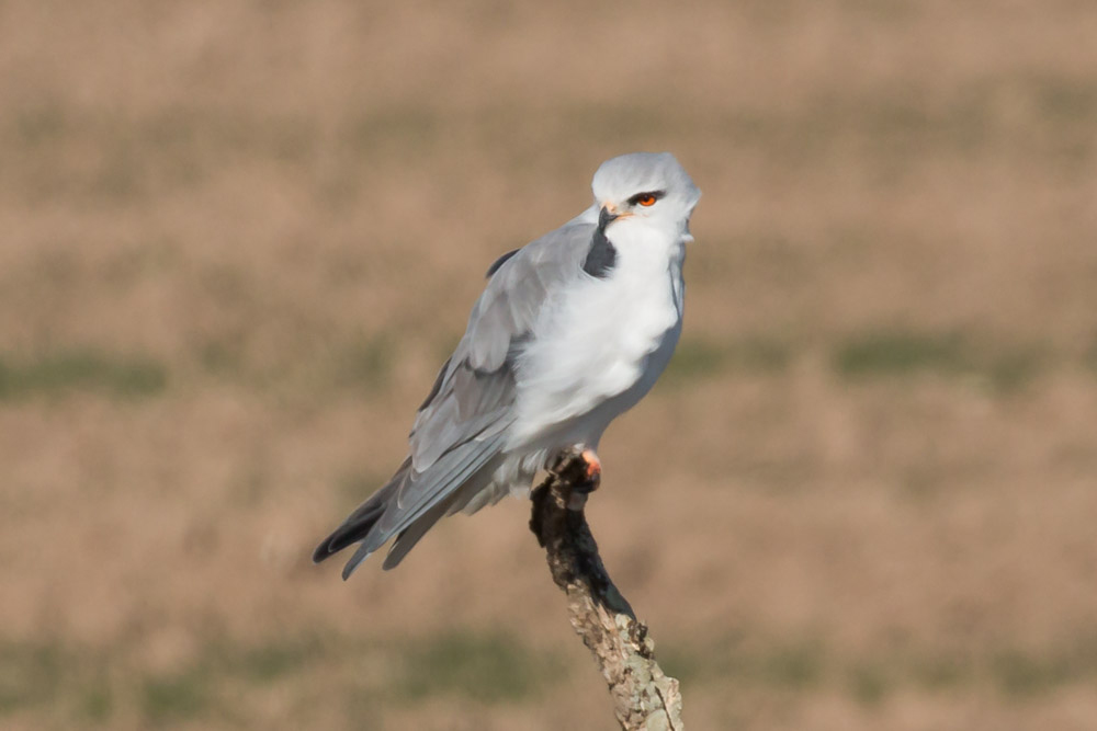 Black-winged kite perched on a stick