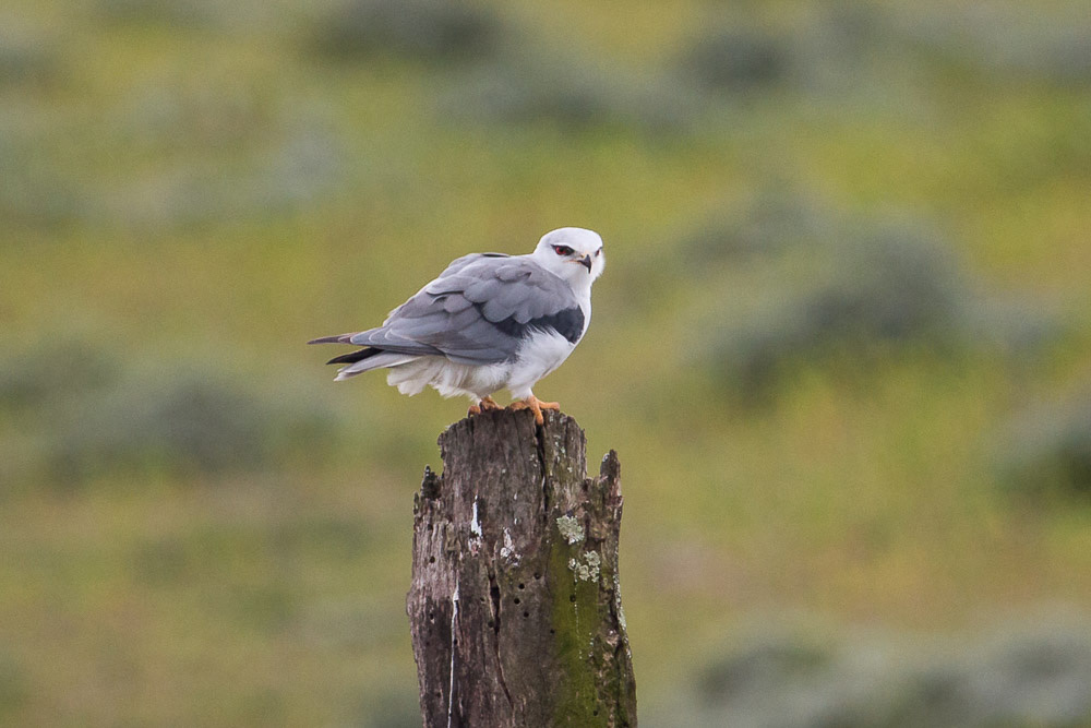 Black-winged kite on a post