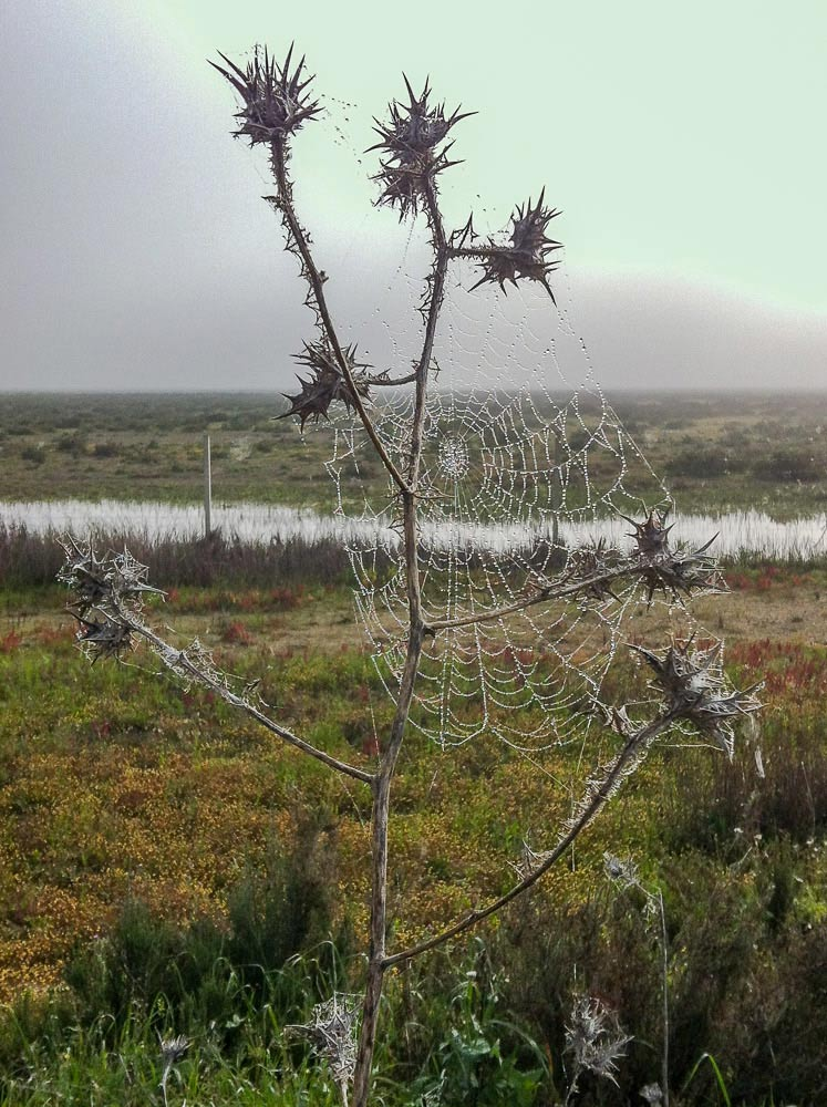 Spiderweb on a thistle