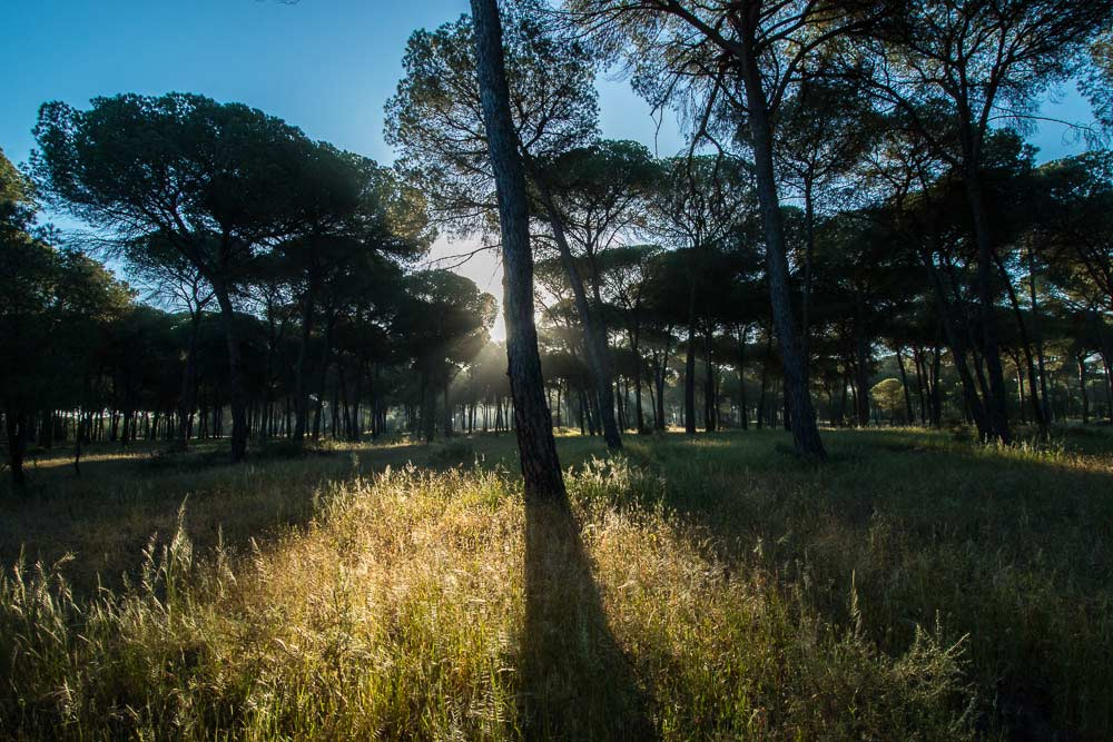 Pine forest with sun behind a trunk
