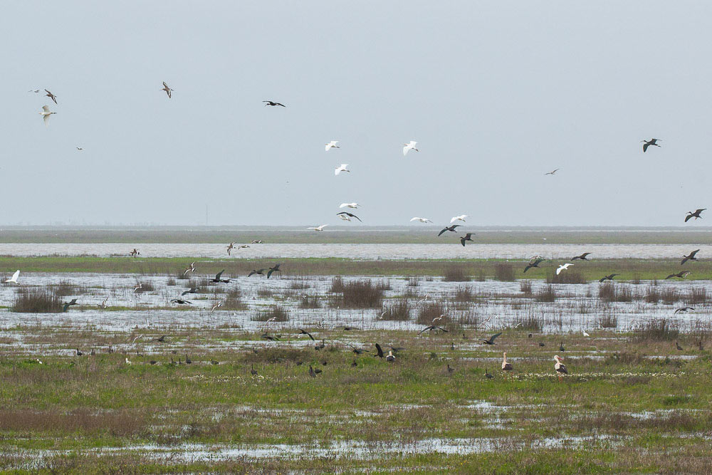 Birds feeding and flying over the marshes