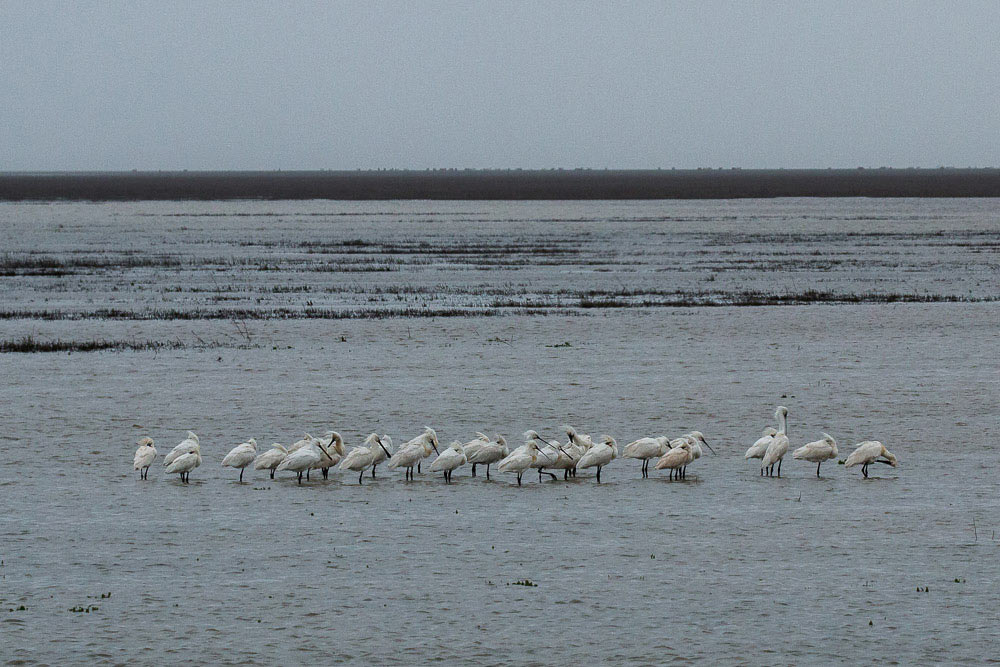 Group of spoonbills in the flooded marshes