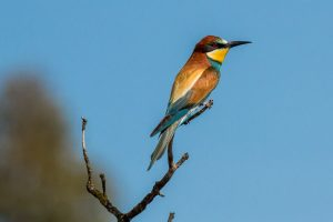 Bee-eater perched on a branch