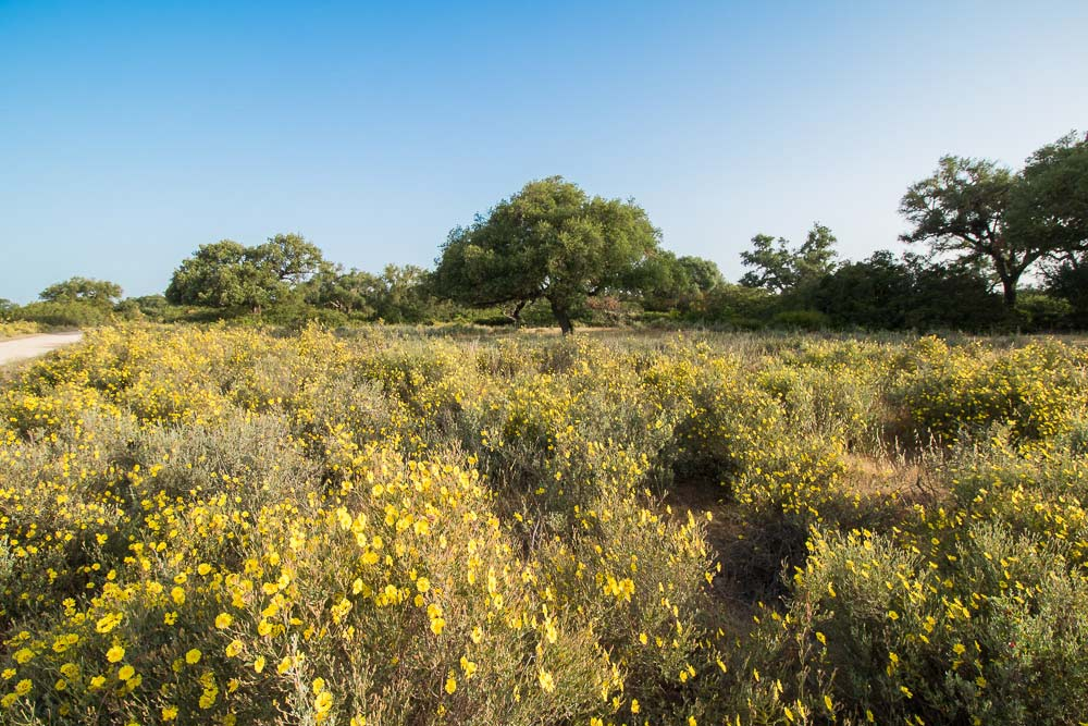 Cork oak forests and yellow rockroses